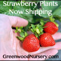 Click here to Buy Premium Strawberry Plants | Greenwood Nursery
