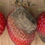 gray mold strawberry plant