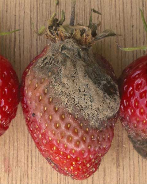 Strawberry Plant The Ultimate Guide Updated 2018