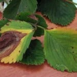 strawberry plant leaf blight