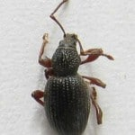 strawberry plant root weevil