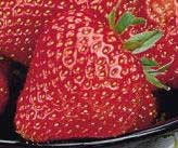cardinal strawberries plant