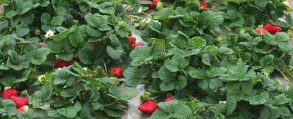 How a New Variety of Strawberry Plants is Developed