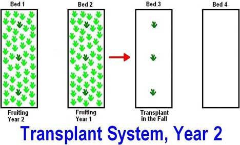 strawberry transplanting