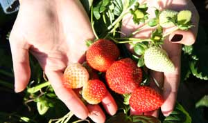 grow your own strawberry plants
