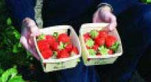 florida strawberry varieties
