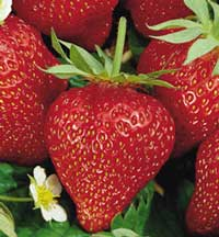 ozark beauty strawberries