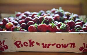 pick your own strawberry