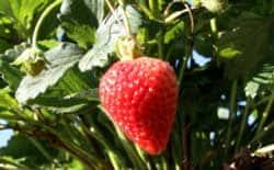 fall strawberry plants