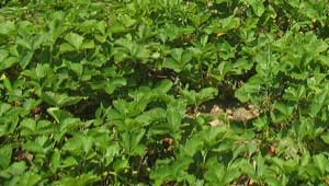 strawberry plants per acre