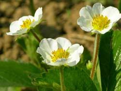 what type of plants are strawberry plants