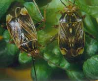tarnished plant bugs & strawberry plants