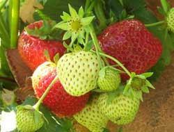 strawberries and cancer