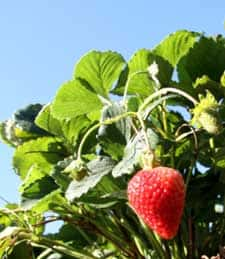 short day june bearing strawberry plants