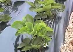 southeastern plasticulture strawberries