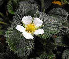 genetics of strawberry plants