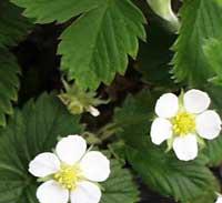 strawberry species
