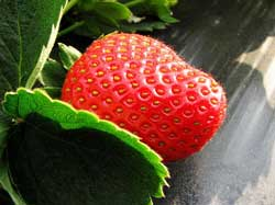 popular strawberry varieties