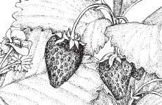 growing strawberries in wisconsin