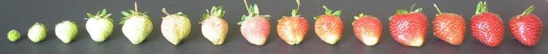 strawberry picking 1