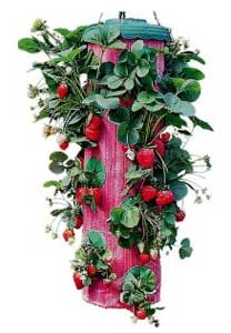 Topsy Turvy Strawberry Planter Strawberry Plants Org