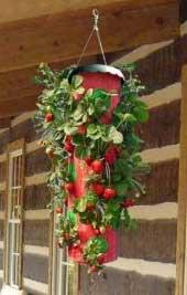 topsy turvy strawberry