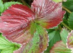 nitrogen deficiency in strawberry plants