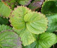 strawberry plants with yellow leaves