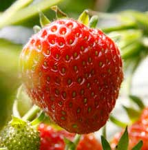 do strawberries take a year to produce fruit