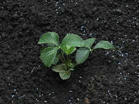 when is the best time to transplant strawberry plants