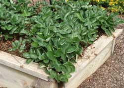 how many strawberry plants per square foot