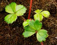 how to save strawberry runners for next year How to Save Strawberry Runners for Next Year?