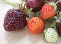 purple strawberries