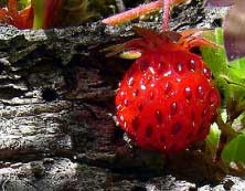will strawberry plants come from a buried strawberry