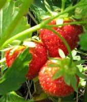 fall strawberry plants reminder