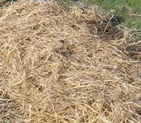 mulching strawberry plants with straw for winter