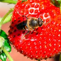 organic strawberries are better for bees