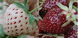 exotic garden exotic strawberries pineberry purple