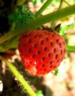 buy strawberry plants for spring planting