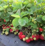 flavorfest strawberry plants