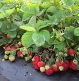 flavorfest strawberry plants