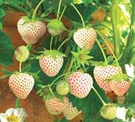 strawberry snow white strawberry variety