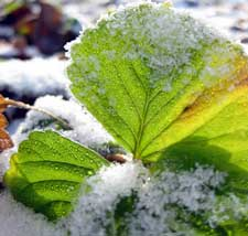 how to grow strawberry plants winter
