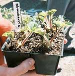 strawberry nursery
