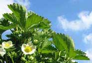 do strawberry plants need acidic soil
