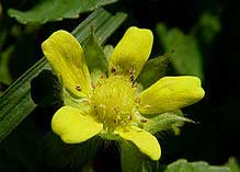 strawberry plants with yellow flowers