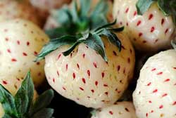 are fragaria vesca strawberries the same as the pineberry