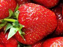 discovering how strawberry plants fight fusarium wilt