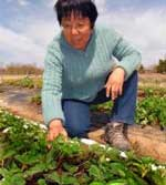 northern new mexico strawberries studied