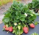 new strawberry varieties winterstar & florida sensation